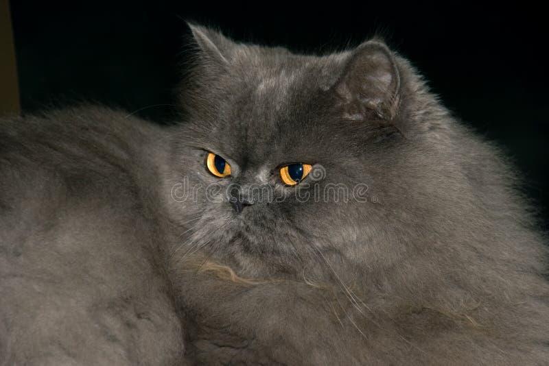 04 pers kotów zdjęcie stock