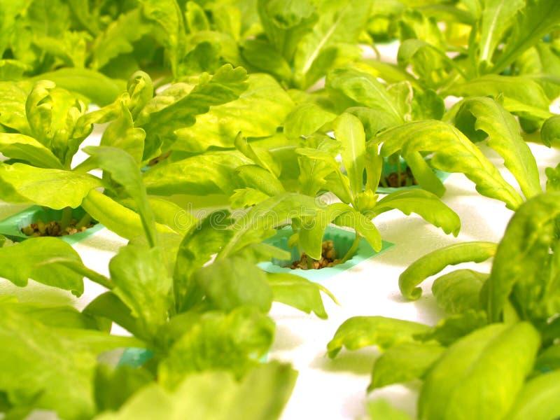05水耕的蔬菜 免版税库存照片