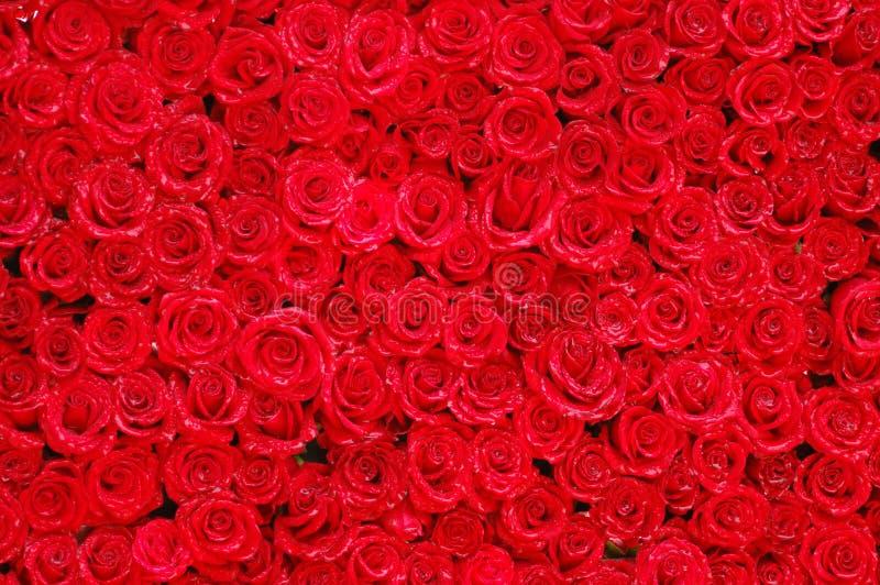 05 róż zdjęcie stock