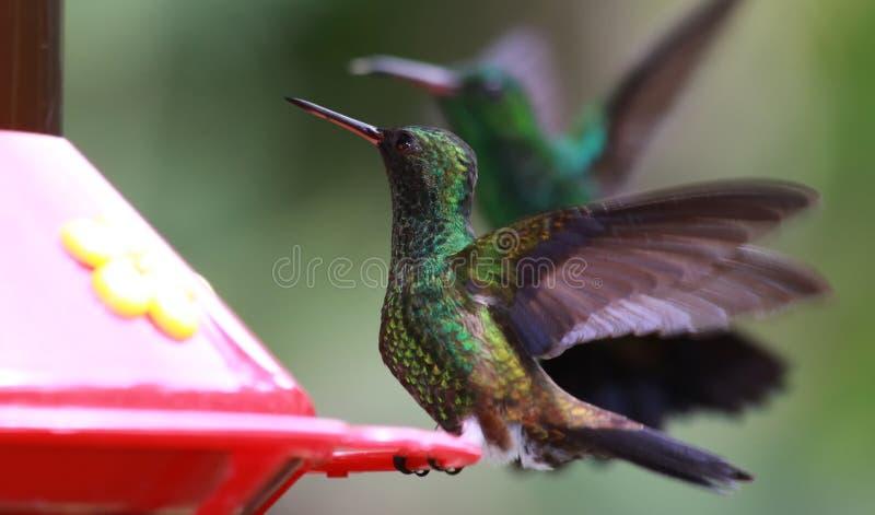 06 hummingbird zdjęcie stock