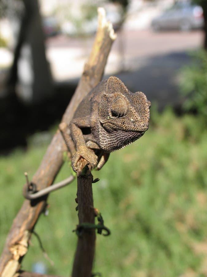 08变色蜥蜴 免版税库存照片
