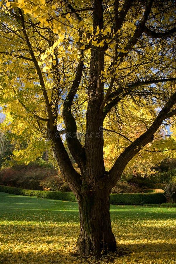 08 δέντρο φυλλώματος 3448 πτώση&si στοκ εικόνες με δικαίωμα ελεύθερης χρήσης