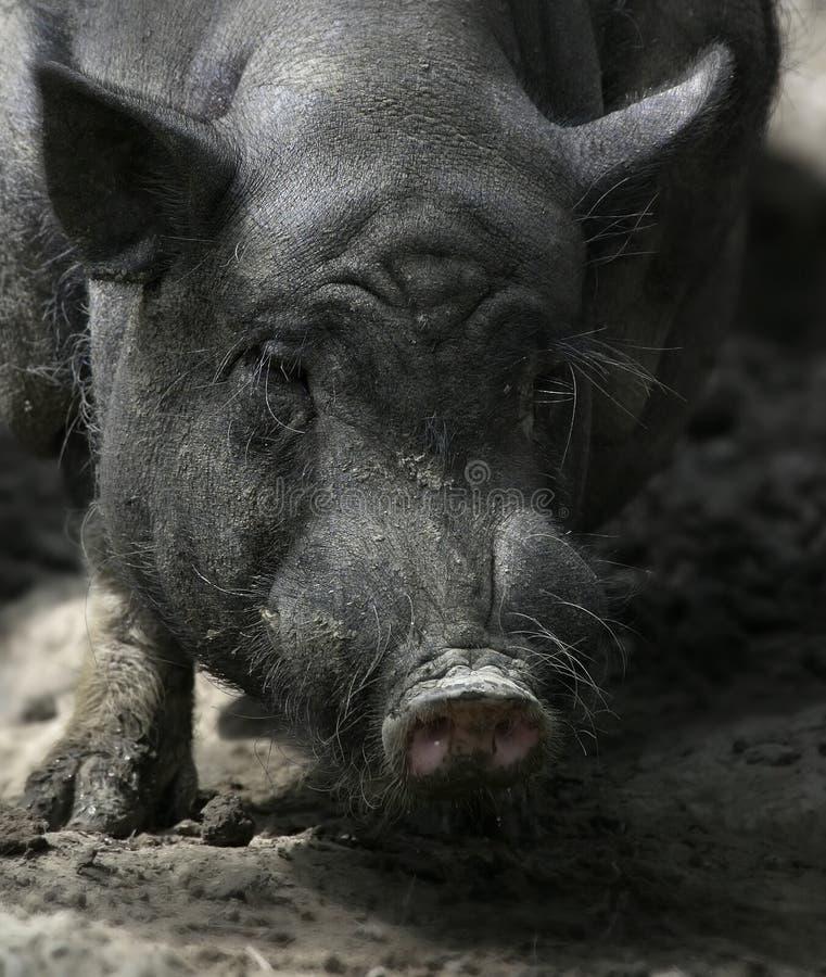 1个坏的猪 免版税库存图片