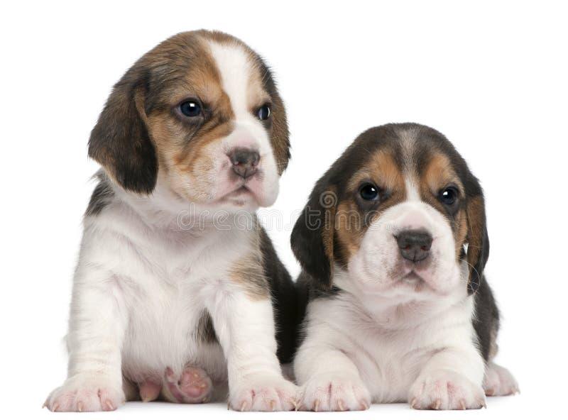 1个小猎犬月大小狗二 免版税图库摄影
