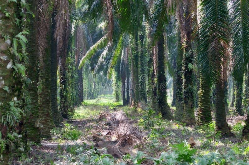 1个庄园油棕榈树系列 图库摄影