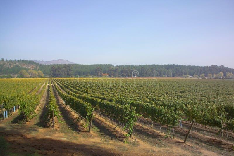 1个智利葡萄园 库存图片