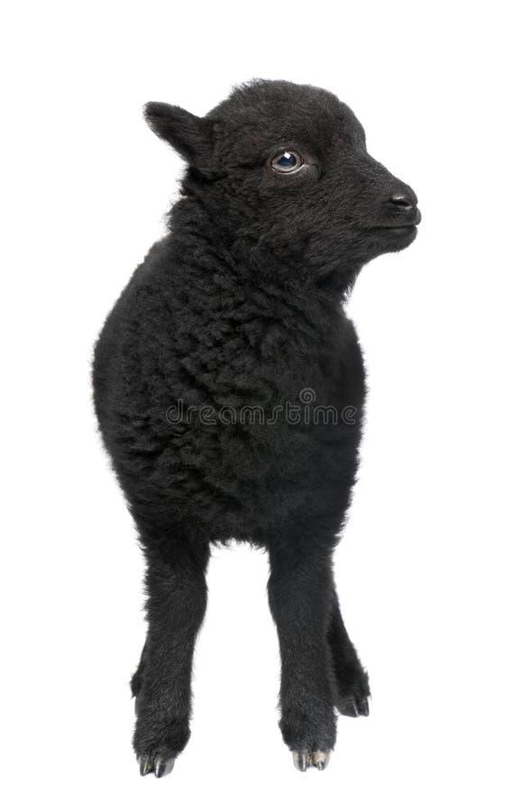 1个月大ouessant公羊年轻人 免版税库存图片