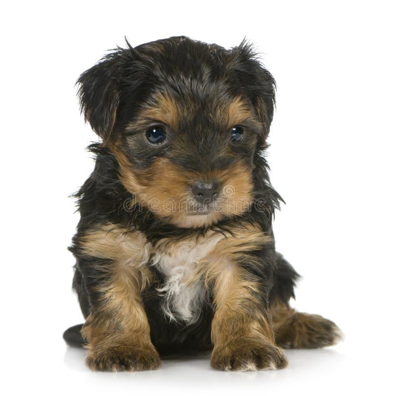 1个月小狗狗约克夏 库存照片