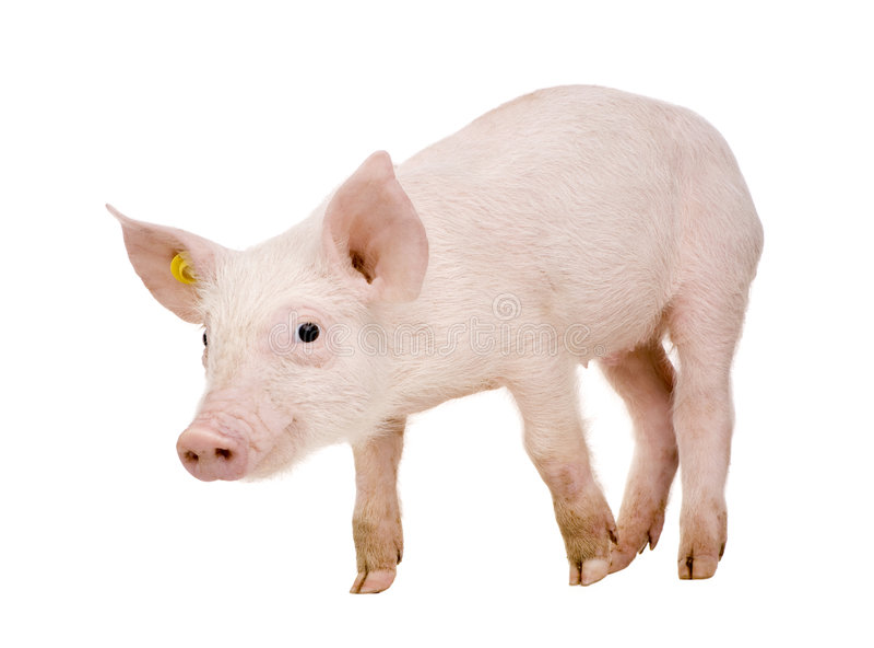 1个月猪年轻人 免版税库存照片