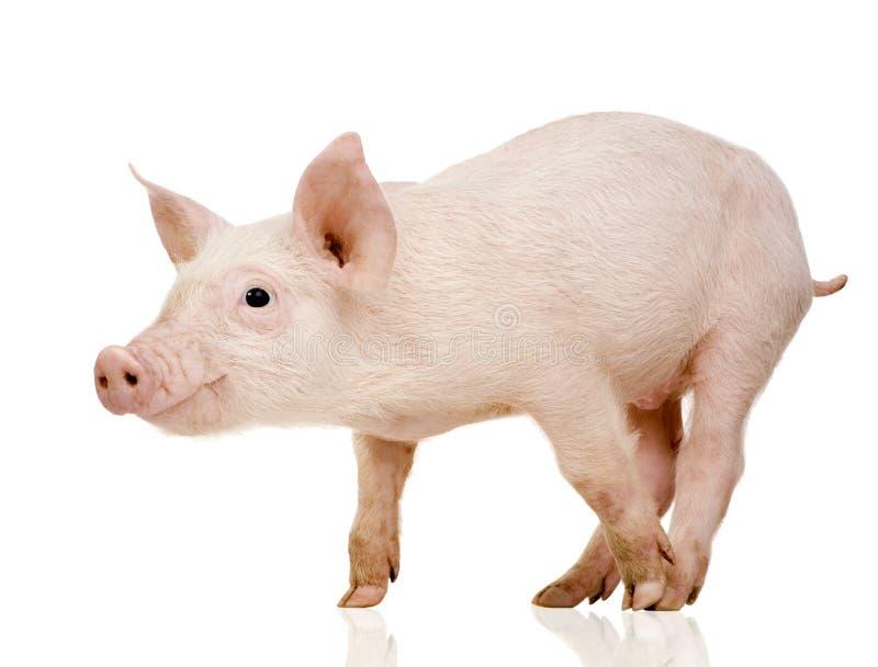 1个月猪年轻人 免版税库存图片