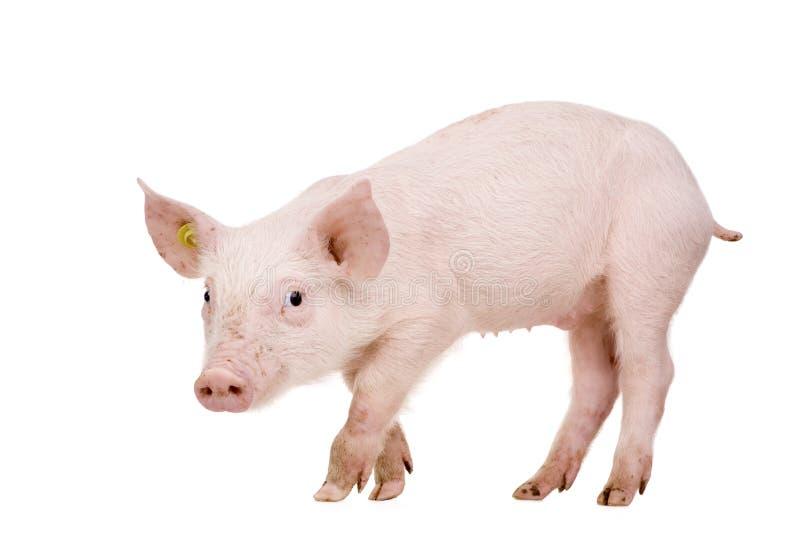 1个月猪年轻人 库存图片