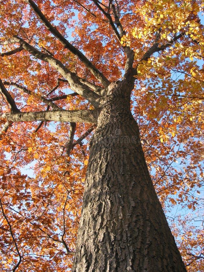 1个秋天橡木老结构树 免版税库存照片