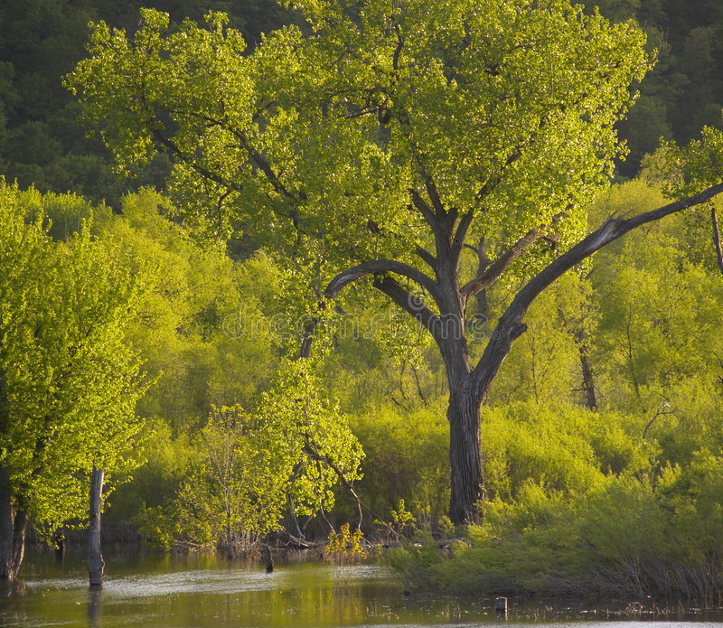1个赞美诗结构树 免版税库存照片
