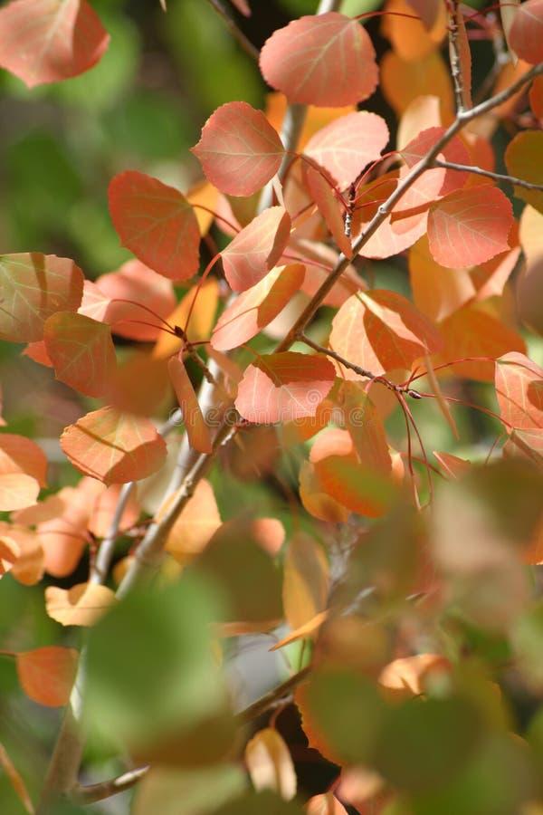 1卷白杨木离开橙红 库存图片