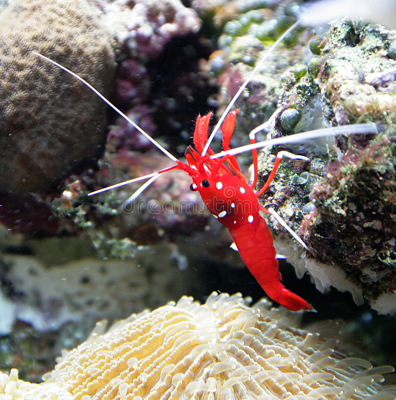 1只更加干净的猩红色虾 库存照片