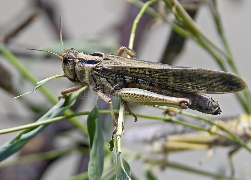1只沙漠蝗虫 库存照片