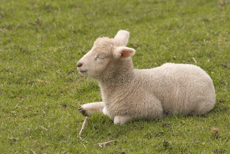 1只羊羔 免版税库存照片