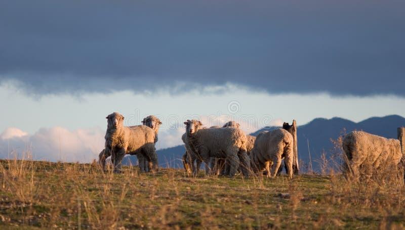 1只美利奴绵羊 免版税库存照片