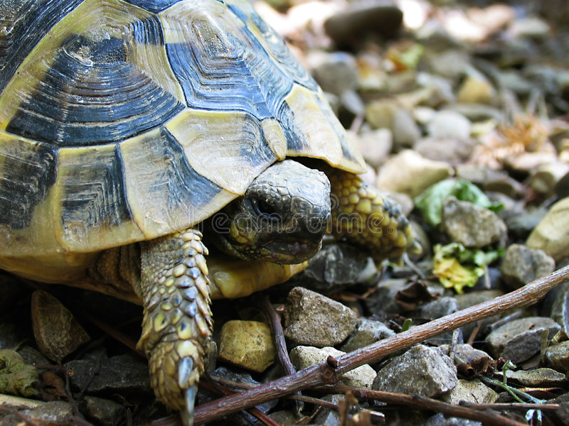 1只草龟 免版税库存图片