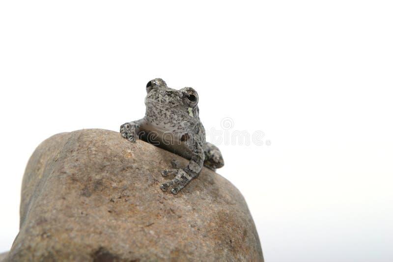1只青蛙 免版税库存图片