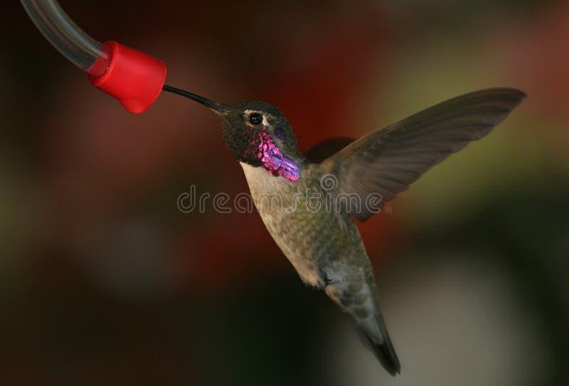 1只黑色chinned蜂鸟 免版税库存照片