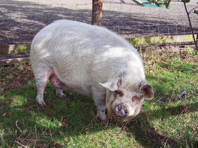 1头猪 免版税图库摄影