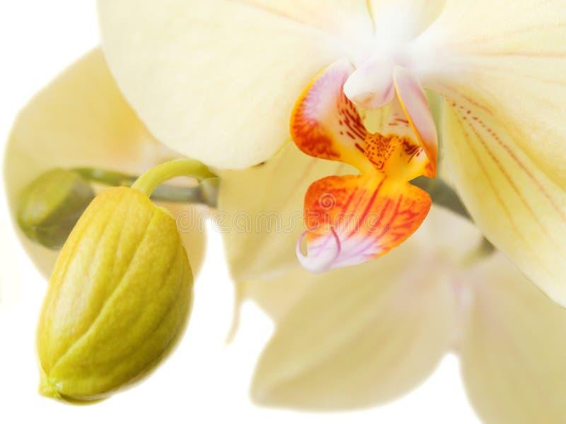 1朵兰花 库存照片