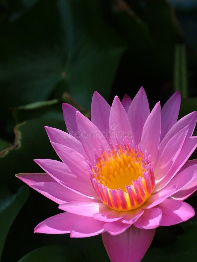 1朵莲花 免版税库存图片