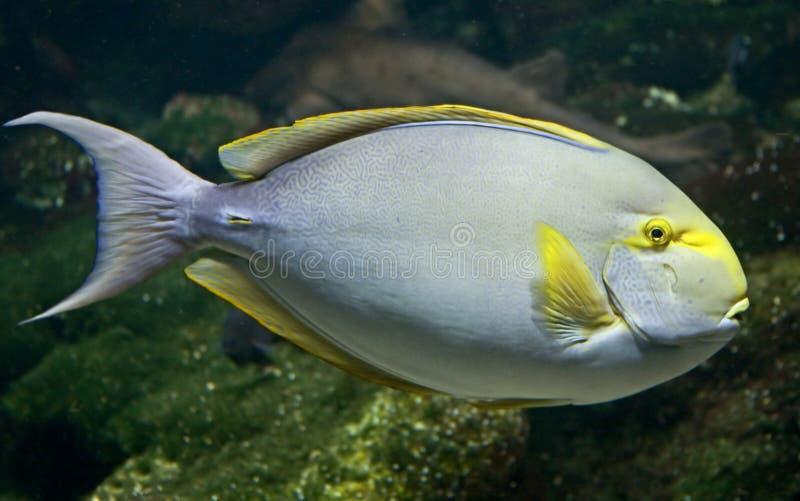1条矛状棘鱼 库存照片