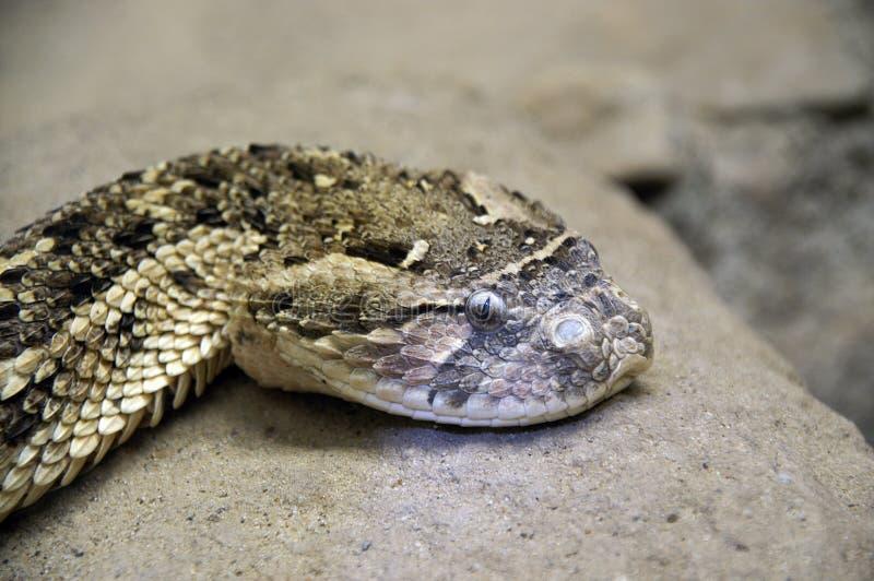 1条顶头吵闹声蛇 免版税库存照片