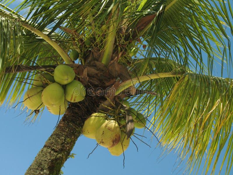 1棵椰子树 库存图片