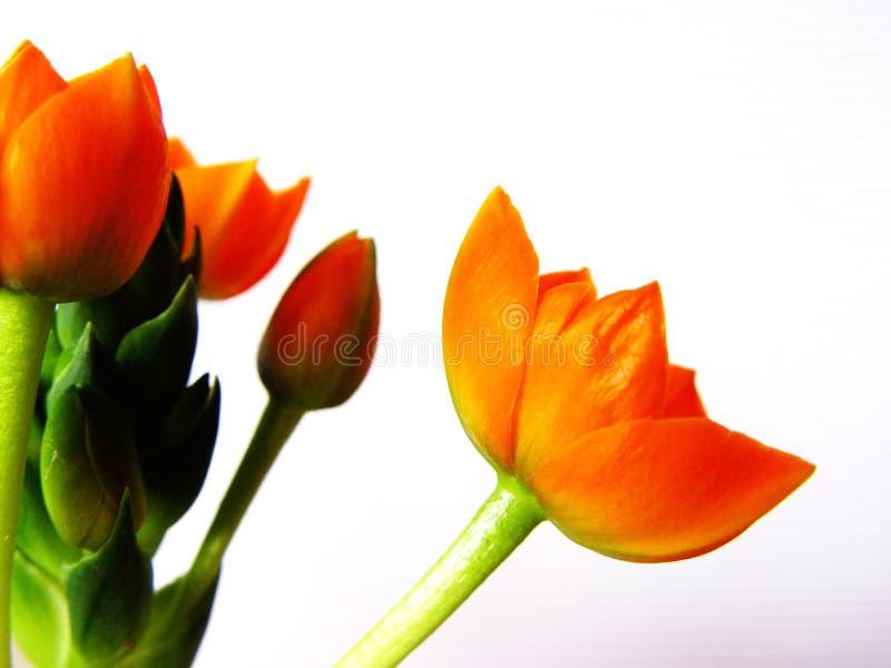 1橙色的开花 图库摄影