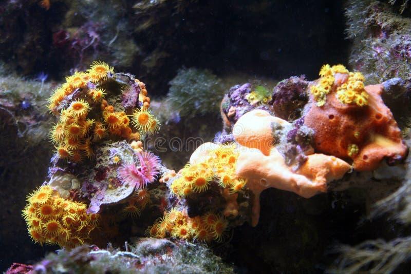 1海葵属珊瑚 图库摄影