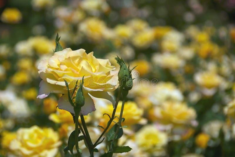1玫瑰黄色 库存图片