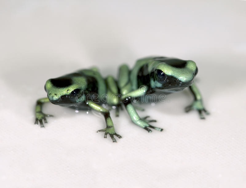 1种黑色箭青蛙绿色毒物 图库摄影