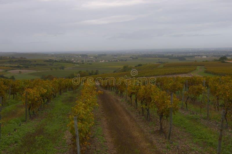 1科涅克白兰地法国葡萄园 免版税库存图片