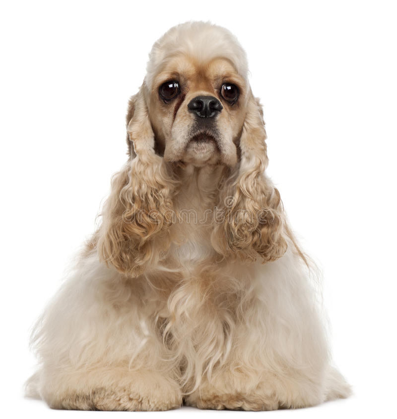 1美国斗鸡家老坐的西班牙猎狗年 免版税图库摄影