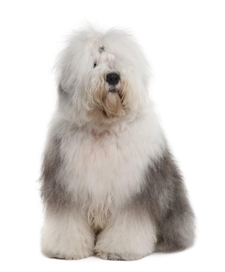 1英国老护羊狗坐的年 免版税库存照片