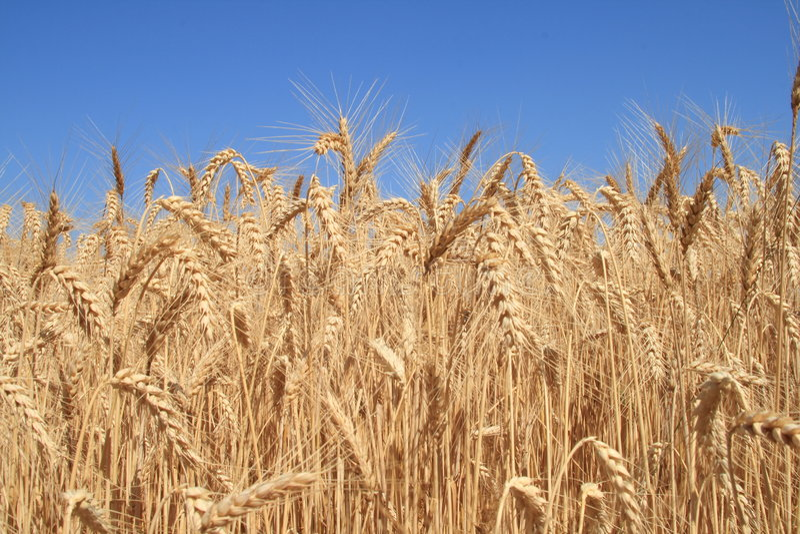 1表麦子 库存照片