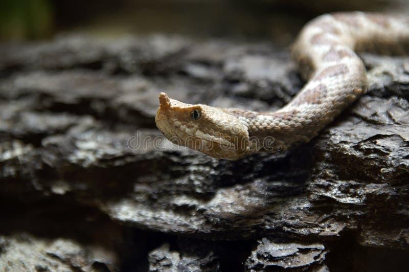 1长的鼻子蛇蝎 库存图片