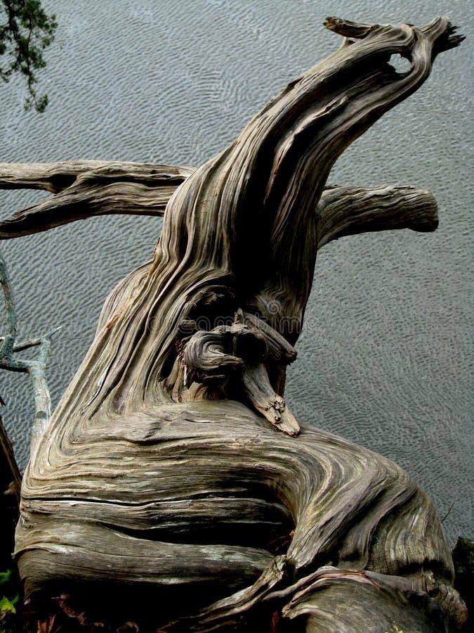 1颜色dragonwood 图库摄影