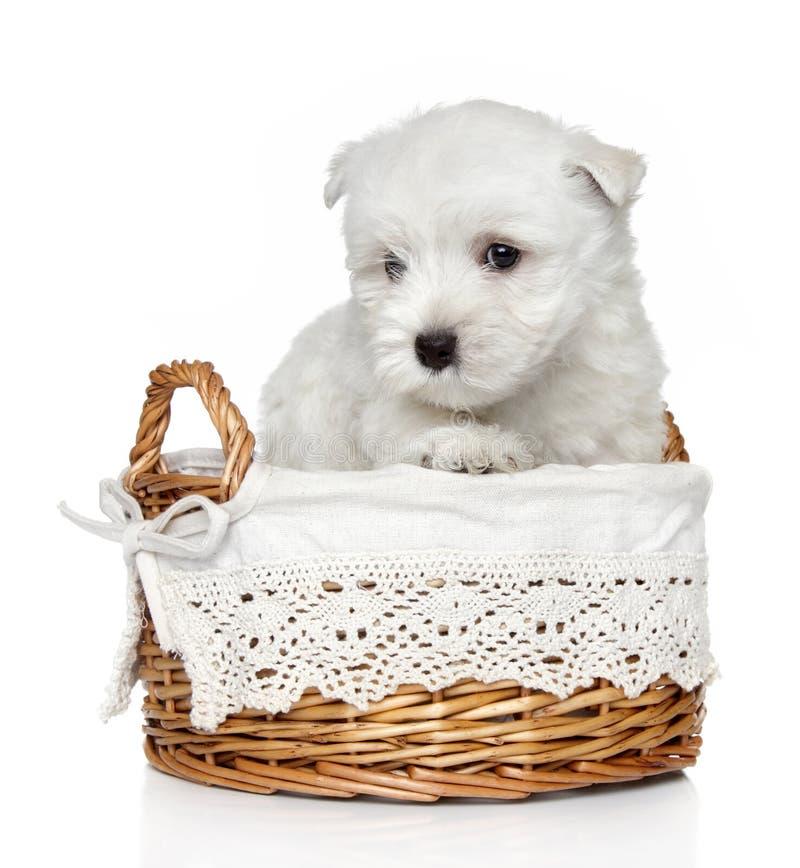1高地月西部小狗狗白色 免版税库存照片