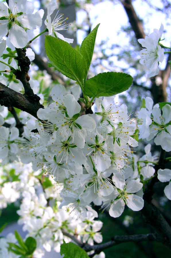 1 äpple blommar treen arkivbilder