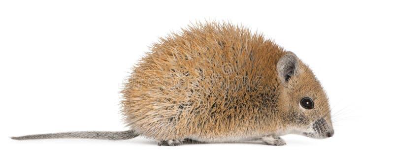 1 år för guld- russatus för mus för acomys spiny gammal royaltyfri bild