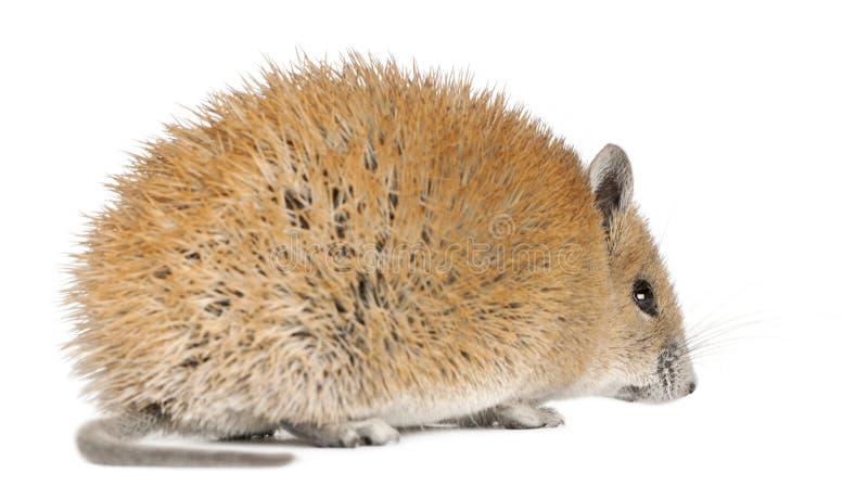 1 år för guld- russatus för mus för acomys spiny gammal royaltyfria foton