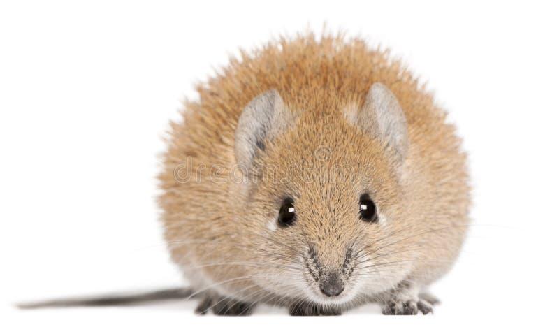 1 år för guld- russatus för mus för acomys spiny gammal fotografering för bildbyråer