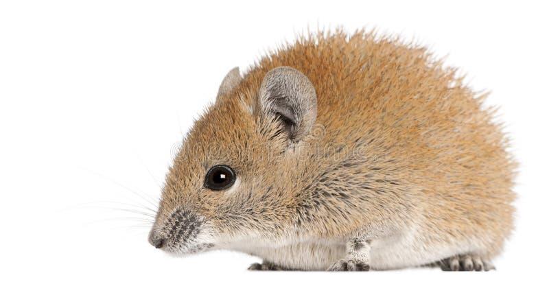 1 år för guld- russatus för mus för acomys spiny gammal royaltyfri foto