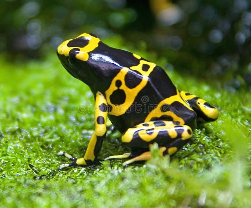1 żaba pozycja trujący żółty fotografia stock