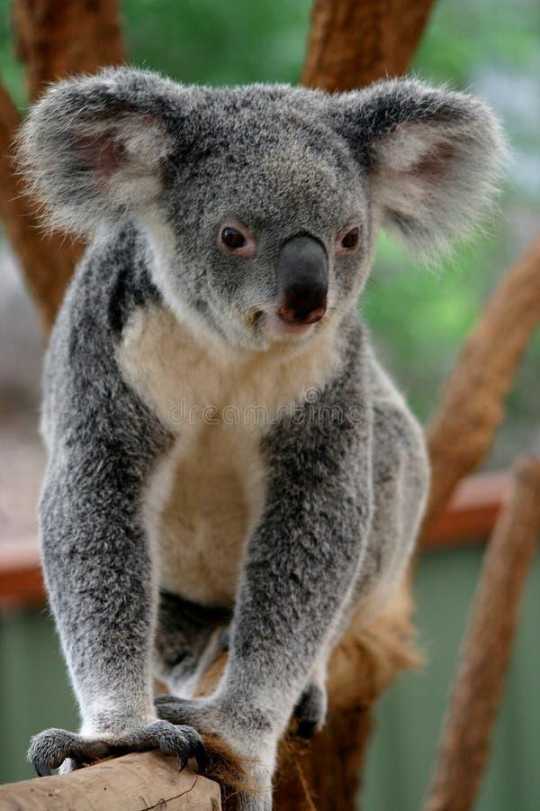 1 αντέχει το koala στοκ φωτογραφίες