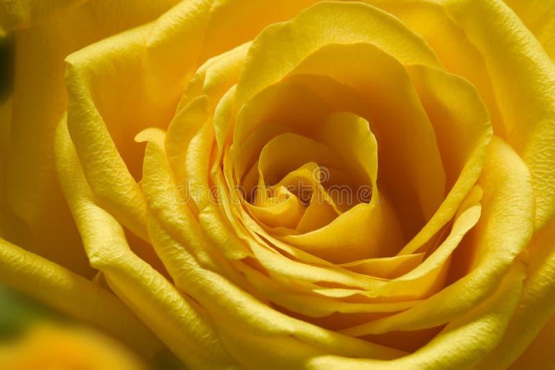 1 αυξήθηκε κίτρινος στοκ εικόνες